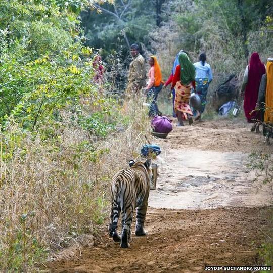 Cán bộ kiểm lâm và người dân nhường đường cho hổ đi trong công viên quốc gia Ranthambhore của Ấn Độ. Ảnh: BBC