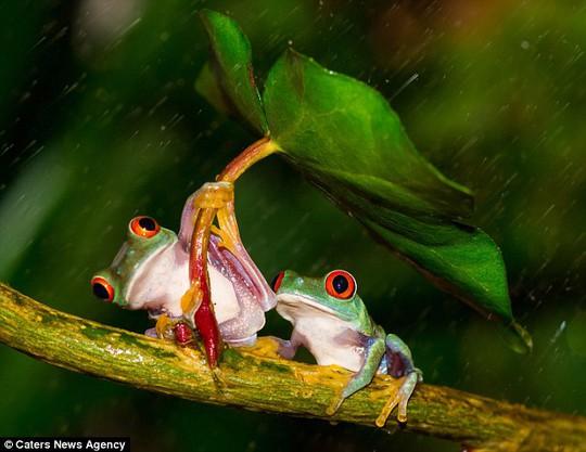 Con ếch kéo là che mưa cho bạn tình. Một hành động hết sức ga-lăng.