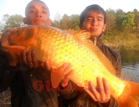 Cá chép vàng khủng anh Việt đã câu được ở Biển Hồ. Ảnh: Ngọc Linh