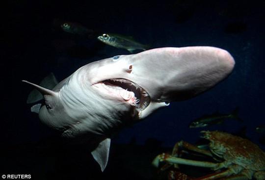 Cá mập yêu tinh thường xuất hiện ở khắp nơi từ Vịnh Mexico tới Nhật Bản. Thức ăn của chúng là những loài cá dưới biển và ít tấn công người