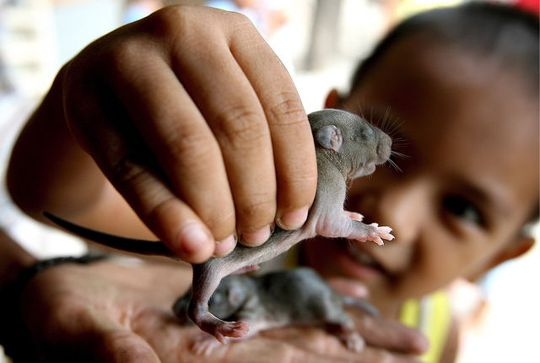 RATS. A file photo shows Gabriel Dihukos, 3, holding a house rat he found in Paranaque district, south of Manila, Philippines on June 22, 2007. Dennis Sabangan/EPA