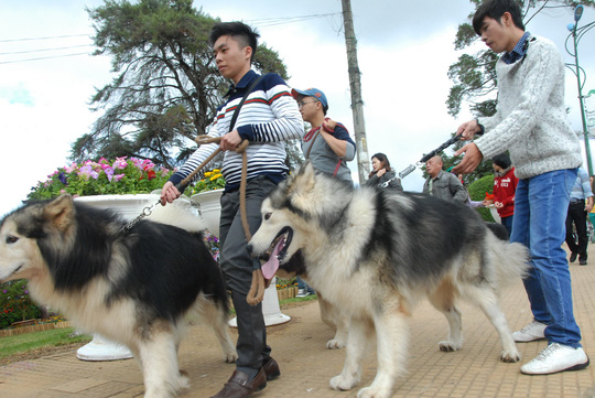 Đà Lạt: Xem chó to 65 kg diễu hành