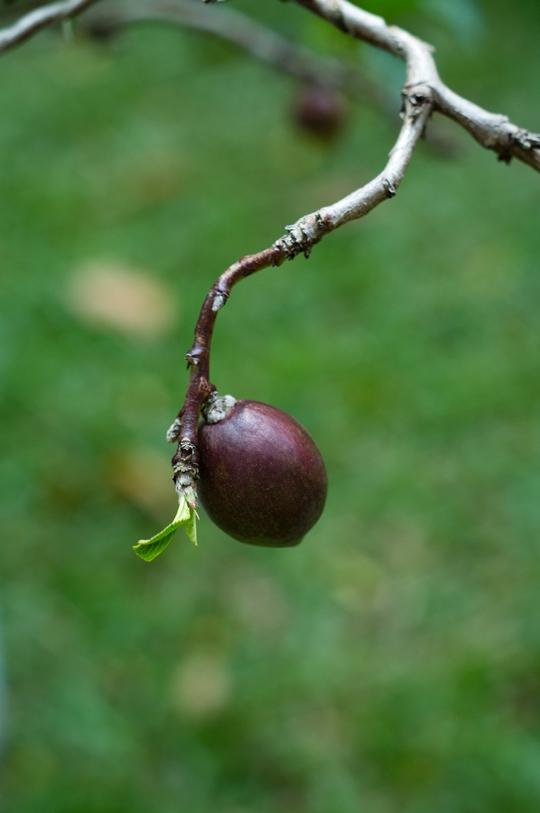 Cây cho hoa như hoa đào, cho trái như trái mận.