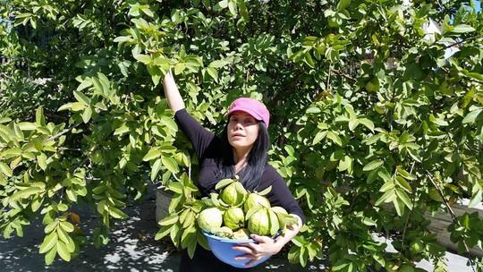 Việt Hương khoe vườn ổi của mình bên Mỹ