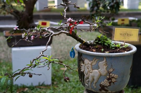Một loại cây cũng khá lạ của nghệ nhân TP Đà Lạt. Đó là cây mận đào.