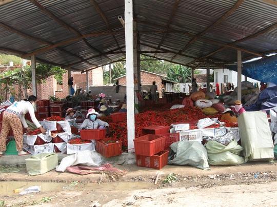 Một đại lý chuyên thu mua ớt xuất đi Trung Quốc ở Phù Mỹ
