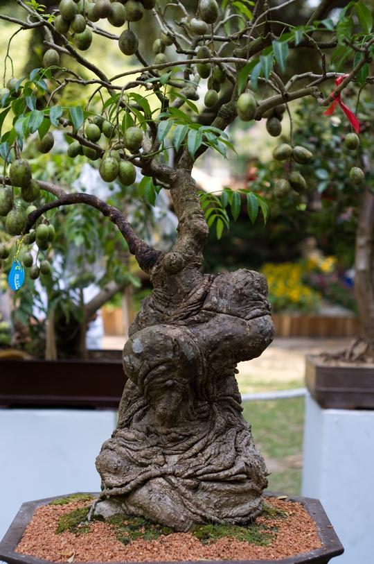 Một cây cóc khác cũng có hình thù kỳ quái. Cả hai cây cóc đều sai trĩu quả. Trong quá trình vận chuyển, trái cóc đã bị rụng bớt.