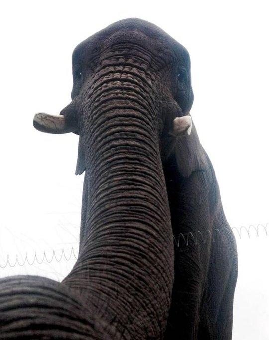 Bức ảnh tự sướng của chú voi Latabe