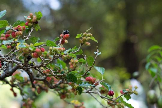 Thấy trái chín đen thẫm, một số người định... hái ăn để thử xem có đúng là dâu tằm không. Tuy nhiên, các bảo vệ - sinh viên đã kịp thời ngăn chặn ý định này.
