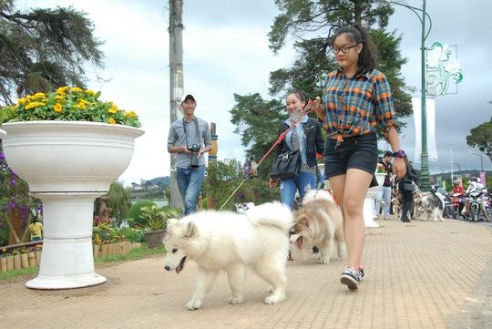 Những con chó cái ngoan, hiền được dắt đi đầu để đàn chó đực theo sau