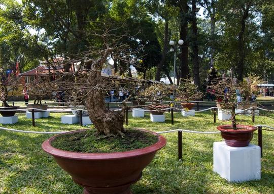 Cây mai này được nghệ nhân Phan Văn Lớn mua về đã mấy năm nay, sau đó ông mất rất nhiều thời gian sửa chi, tạo dáng cho cây.