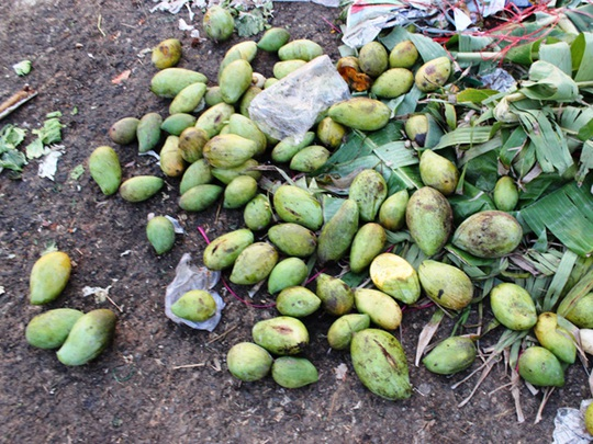 Xoài bán không được, nhiều người đem đổ bỏ bên ngoài chợ đầu mối nông sản thực phẩm Hóc Môn