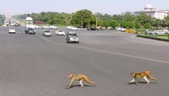 Khỉ hoành hành như chỗ không người ở New Delhi. Ảnh: PTI