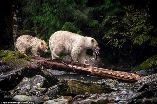 Ảnh chụp mẹ con nhà gấu của nhiếp ảnh gia Kyle Breckenridge.