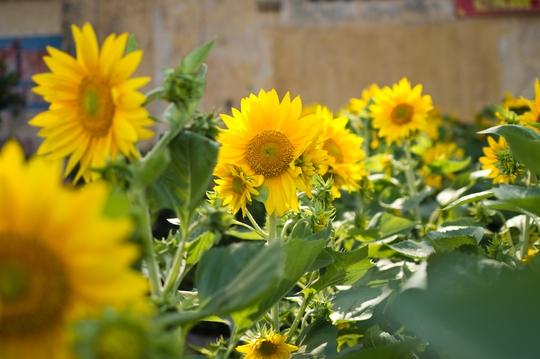 Đối với những loại hoa cao như hoa hướng dương, cồng kềnh như các loại bon sai lớn, người dân yêu cầu được giao hàng tận nhà.