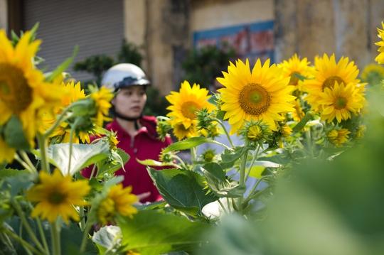 Hướng dương cũng là loại hoa được chọn mua khá nhiều. Mỗi chậu khoảng 120.000 đồng.