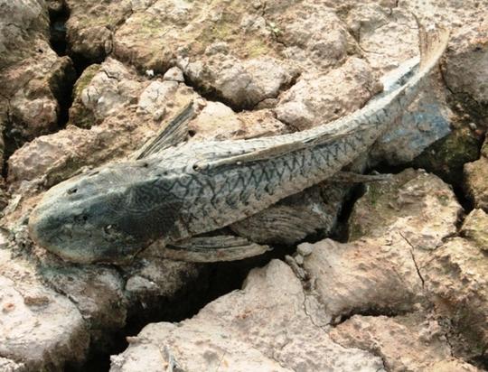Một con cá chết khô bị người dân bỏ lại trên bờ sông