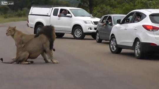 2 con sư tử có thể vồ hai đứa bé bất cứ lúc nào. Ảnh: Dailymail