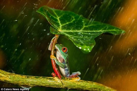 Ếch kéo lá che mưa cho bạn tình
