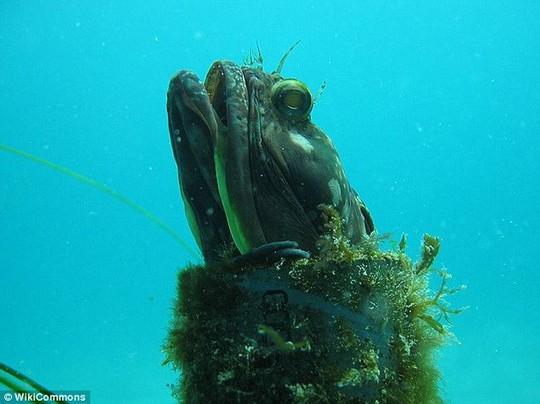 Cá miệng rộng Sarcastic fringehead thường ăn những loài động vật giáp xác. Loài cá này có nguồn gốc từ miền Nam California và Baja, Mexico