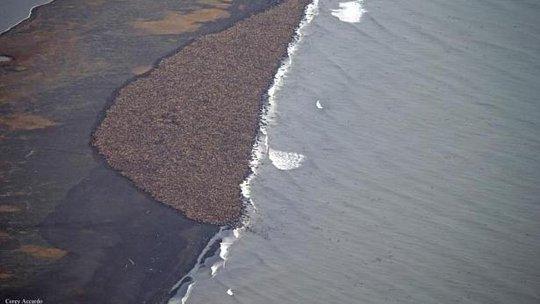 "35.000 hải mã ""cắm trại"" trên bờ biển Alaska"