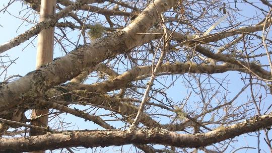 Nét rêu phong của cây đào đá có giá khủng nhất ở Thanh Hóa đến thời điểm này.