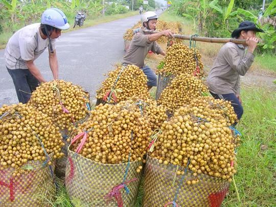 Trái cây xuất khẩu sang Campuchia cũng giảm chỉ còn bằng 1/3 so với chính vụ.  Ảnh Ngọc Trinh.