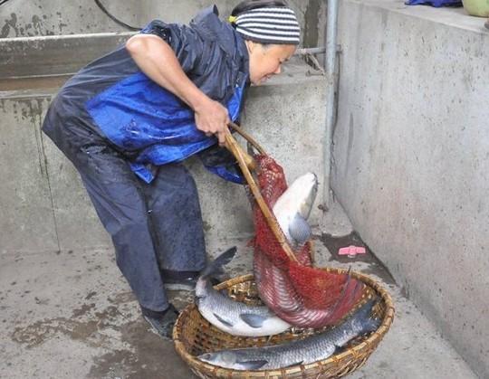 Cá phải được nuôi ít nhất 2 năm và có cân nặng từ 4 kg trở lên.