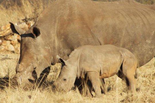 Tính từ đầu năm đến tháng 10, có tổng cộng 933 con tê giác bị sát hại ở Nam Phi. Ảnh: THE INDEPENDENT