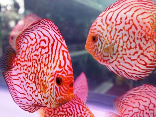 Cá Dĩa có hình dáng và màu sắc bắt mắt.