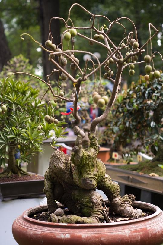 Ở nhiều gốc độ, rRễ và thân cây cóc này nhìn như con kỳ lân. Vì vậy, nghệ nhân đặt tên cho cây này là kỳ lân cóc.