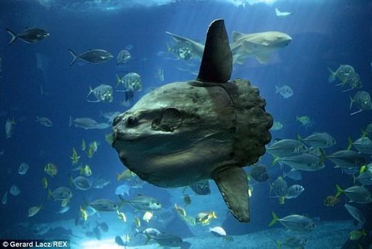 Cá Mola Mola có nguồn gốc ở vùng biển ôn đới và nhiệt đới. Con mồi chủ yếu của nó là sứa
