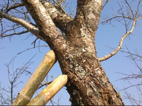 Thân cây đào sù sì, gân guốc