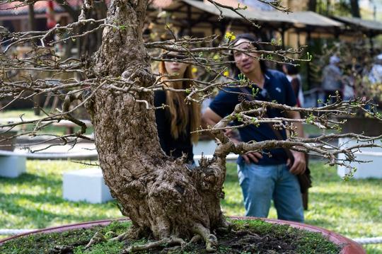 Ai đến khu trưng bày mai vàng cũng đều tìm đến ngắm cây mai 2,5 tỷ đồng này.