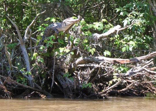 Cá sấu thích leo những cành cây sát mặt nước và đón nắng