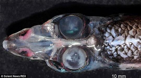 Cá mắt thùng có vẻ ngoài đáng sợ
