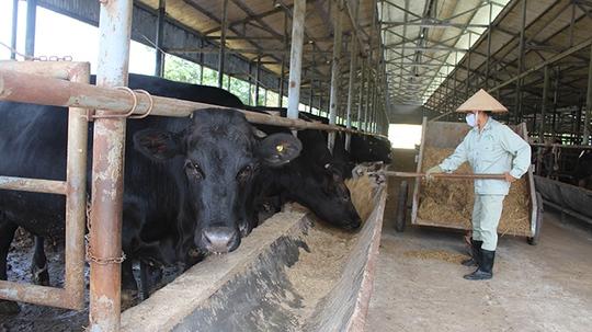 Bò giống Kobe nuôi tại trang trại của Công ty cổ phần bò Kobe VN - Ảnh: T.Mạnh