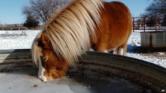 Ngựa uống nước đóng băng