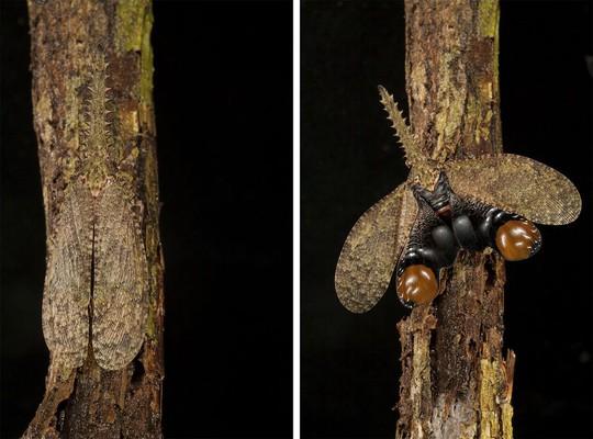 Loài ruồi đèn lồng Fulgora sp. ngụy trang hoàn hảo trên một thân cây, tại vườn quốc gia Soberania, Panama. Khi muốn xua đuổi kẻ thù, nó xòe cánh để lộ những chấm lớn nhằm đe dọa kẻ săn mồi.
