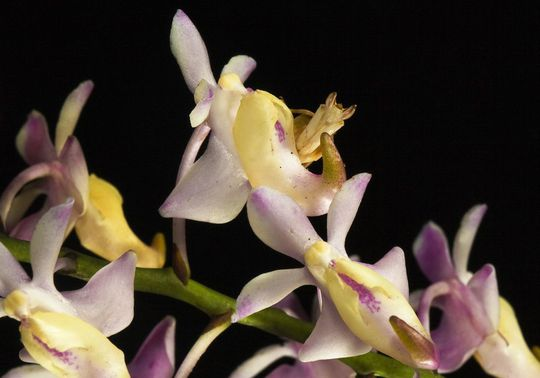Bọ ngựa phong lan Hymenopus coronatus bắt chước hoa để dụ dỗ con mồi. 4 chiếc chân của nó trông không khác nào những cánh hoa.
