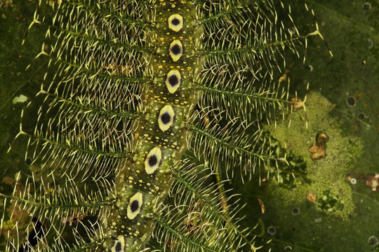 Sâu xanh lá Tanaecia sp. hòa lẫn khéo léo vào môi trường. Con sâu này còn giật nhẹ thân mình để giống như những chiếc lá cản gió