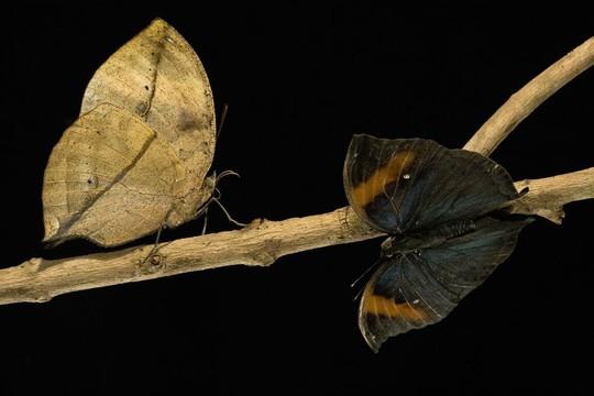 Không loài động vật nào muốn ăn một chiếc lá úa cả. Vì vậy, loài bướm lá Kallima sp. thật may mắn khi sở hữu màu cánh không khác gì một chiếc lá tàn úa.