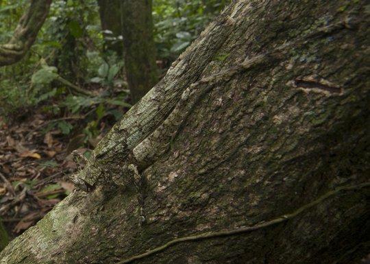 Con châu chấu màu địa y này trông không khác gì một phần của thân cây phủ đầy địa y để tránh kẻ thù. Thú vị hơn, con châu chấu này ăn chính những cây địa y mà nó ngụy trang thành.