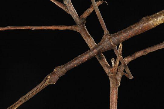 Bọ cây Lonchodes sp. tự bảo vệ bản thân bằng vẻ ngoài không khác nào một cành cây nhỏ. Để thêm phần thuyết phục, nó cũng di chuyển rất chậm, bắt chước những cành cây đung đưa trong gió.