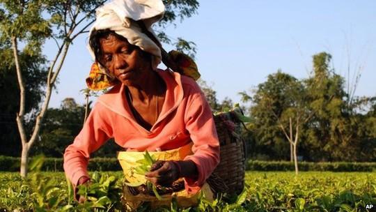 Công nhân vườn chè Ấn Độ thường bị trả lương thấp. Ảnh: AP