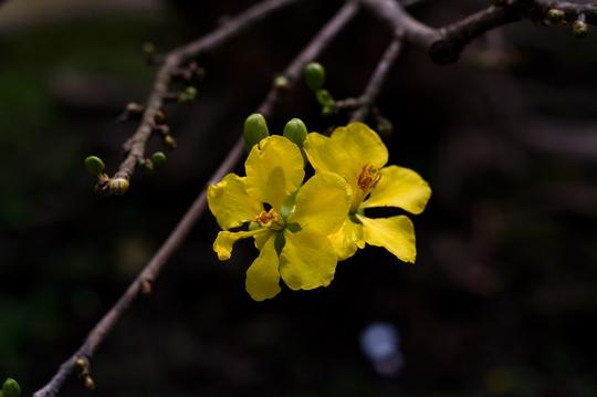 Hoa mai có từ 6 - 8 cánh. Hiện nay nụ mai vẫn còn nhiều và nhỏ.