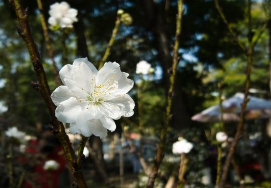 Mặc cho thời tiết nóng bức hơn nhiều so với TP Đà Lạt, bạch đào vẫn nở nhiều hoa đẹp.