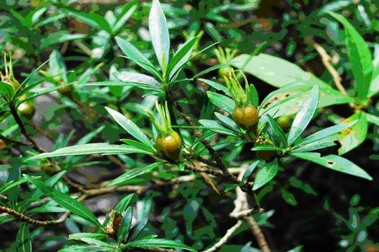 Thuỷ thảo trắng Kailarsenia lineata R.Br (Loài mới cho hệ thực vật Việt Nam)