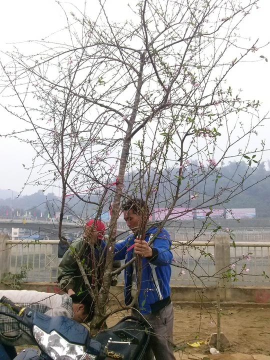 Người dân TP Lào Cai vẫn chuộng đào rừng hơn nhiều so với các loại đào khác