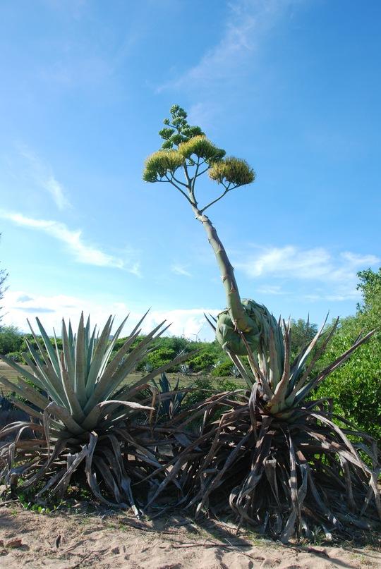 Cây dứa dại với bông hoa khổng lồ kỳ lạ đoạn qua vùng hoang mạc Bắc Bình